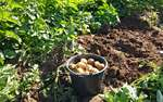 Oblíbená odrůda brambor Carrera