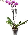 Abbildung des Angebots Orchidee