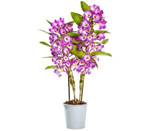 Knolle gartenorchidee Platanthera chlorantha Grünliche Waldhyazinthe Orchis