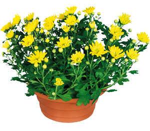 Abbildung des Angebots Chrysanthemen-Schale