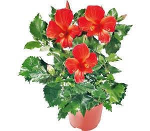 Abbildung des Angebots Hawaiiblume
